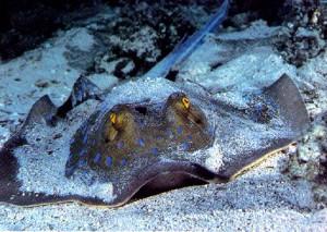 La razza e la manta for Pesce rosso razza
